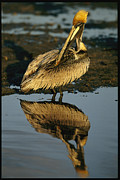 Water Reflections Framed Prints - A Brown Pelican Preening Its Feathers Framed Print by Tim Laman