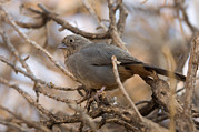 Desert Dome Photos - A Brown Towhee Pipilo Fuscus by Joel Sartore