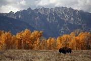 Bison Bison Posters - A Buffalo Grazing In Grand Teton Poster by Aaron Huey