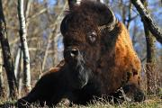Wild Animals Metal Prints - A Buffalo Resting Metal Print by Richard Wear