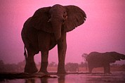 Featured Posters - A Bull African Elephant In Botswanas Poster by Chris Johns
