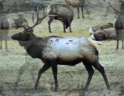 Oak Creek Prints - A Bull Elk  Print by Jeff  Swan