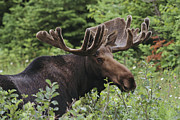 Bull Horns Prints - A Bull Moose Among Tall Bushes Print by Michael Melford