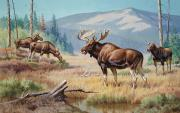 Mountain Valley Framed Prints - A Bull Moose Jealously Guards His Harem Framed Print by Walter A. Weber