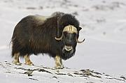 Profile Posters - A Bull Musk Ox Poster by Tim Grams
