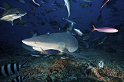 Tropical Fish Posters - A Bull Shark Turns Sharply To Avoid Poster by Terry Moore