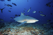 Swimming Fish Photos - A Bull Shark With Accompanying Remora by Terry Moore