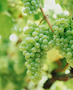 White Grape Photos - A Bunch Of Green Grapes Hanging From The Vine by Victoria Pearson
