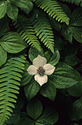 Olympic Peninsula Posters - A Bunchberry Flower Framed By Ferns Poster by Melissa Farlow