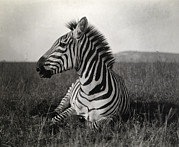 Black And White Photography Metal Prints - A Burchells Zebra At Rest Metal Print by Carl E. Akeley