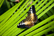 Brown Clipper Prints - A Butterfly Perches On A Palm Frond Print by Taylor S. Kennedy