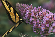Pods Framed Prints - A Butterfly Sips Nectar From A Flower Framed Print by Taylor S. Kennedy