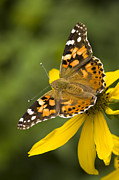 Close Focus Nature Scene Framed Prints - A Butterfly Sits Atop A Yellow Framed Print by Ralph Lee Hopkins