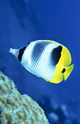 Fish In Sea Framed Prints - A Butterflyfish Swims Up Along A Coral Framed Print by Michael Wood