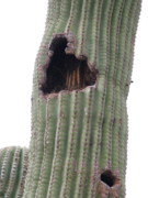 Arizonia Photos - A Cactus Nest by Vickie Roche