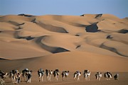Camel Photos - A Camel Caravan Crosses A Landscape by Carsten Peter