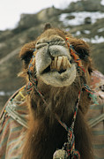 Camels Prints - A Camel Displays Its Teeth Print by Tim Laman