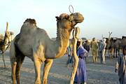 Camel Photos - A Camel Market by Michael Fay