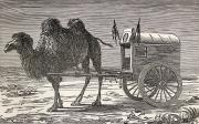 Camel Photos - A Camel Pulling A Carriage by Ken Welsh