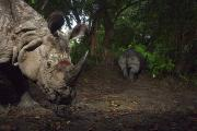 Rhinoceros Framed Prints - A Camera Trap Captures A Bloodied Framed Print by Steve Winter