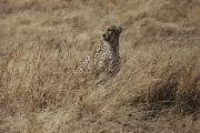 Endangered Cheetahs Art - A Camouflaged Cheetah Sits Alone by Kenneth Love