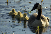 Goose In Water Posters - A Canada Goose Branta Canadensis Family Poster by Tim Laman