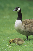 Juvenile Animals Posters - A Canada Goose Watches Over Her Gosling Poster by Norbert Rosing