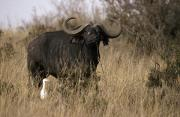 Cape Buffalo Prints - A Cape Buffalo With Large Curving Horns Print by Jason Edwards