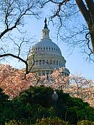 Us Capital Posters - A Capital Cherry Blossom  Poster by Don Allen