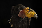 Condor Prints - A Captive Endangered California Condor Print by Joel Sartore