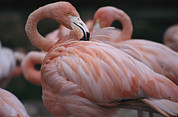 Flamingos Art - A Captive Flamingo Preens Itself by Karen Kasmauski
