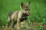 Rapid City Metal Prints - A Captive Gray Wolf Canis Lupus Licks Metal Print by Joel Sartore