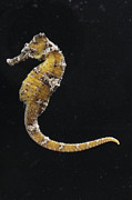 Captive Framed Prints - A Captive Indo Pacific Seahorse Framed Print by George Grall