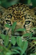 Jaguars Prints - A Captive Jaguar Hides In  Vegetation Print by Steve Winter