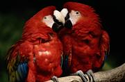 Captive Framed Prints - A Captive Pair Of Scarlet Macaws Nuzzle Framed Print by Tim Laman