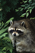 Raccoons Framed Prints - A Captive Raccoon Relaxes On A Rock Framed Print by Norbert Rosing