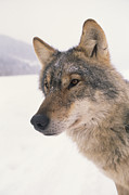 Carpathian Mountains Posters - A Captive Wolf Studied By Carpathian Poster by Gordon Wiltsie