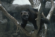 Mammals Prints - A Captive Wolverine In A Snow-dusted Print by Annie Griffiths