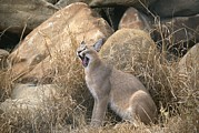 Wildcats Framed Prints - A Caracal Yawns Framed Print by Beverly Joubert