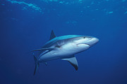 Animal Behavior Art - A Caribbean Reef Shark Cruising by Nick Caloyianis