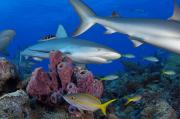 Setting Framed Prints - A Caribbean Reef Shark Swims Framed Print by Brian J. Skerry