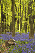 Lumber Industry Framed Prints - A Carpet Of Bluebells Under The Beech Trees Of West Woods In Wiltshire, Uk Framed Print by Julian Elliott Ethereal Light