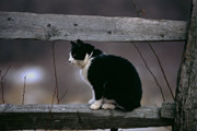 Curled Up Posters - A Cat Sitting on a Wooden Fence Poster by George Oze
