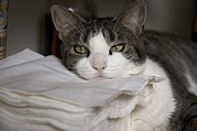 Linens Prints - A Cat Sleepily Rests Its Chin Print by Cotton Coulson