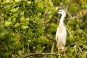 Mangrove Trees Photos - A Cattle Egret Bubulcus Ibis Portrait by Tim Laman