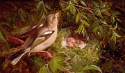 Nesting Framed Prints - A Chaffinch at its Nest Framed Print by William Hughes