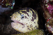 Wild One Photos - A Chain Moray Eel Peers Out Of Its Hole by Terry Moore