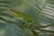 Lizards Photos - A Chameleon With Yellow Eyes Balances by Michael Melford