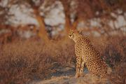 Wildcats Prints - A Cheetah Acinonyx Jubatus In South Print by Nicole Duplaix