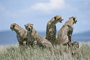 Groups Of Animals Posters - A Cheetah Family Poster by David Pluth